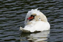 Mute Swan (LeighBirder) Tags: mute swan cygnus olor hyde park