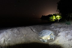 Chelonia mydas (AlexandreRoux01) Tags: green turtle tortue verte chelonia mydas nesting reptile guadeloupe antilles