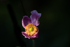 Sweet Thursday (Irina1010_out for a while) Tags: flower macro anemone purple stamen darkbackground nature beautiful canon ngc npc