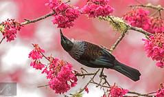 Tui 39 (Black Stallion Photography) Tags: tui bird wildlife newzealand nzbirds pink flowers blossom spring blue green brown feathers nectar black stallion photography igallopfree