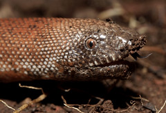 Red Sand Boa (Eryx johnii) (cowyeow) Tags: pune india indian snake snakes reptile nature wildlife herp herps herping herpetology maharashtra macro closeup head headshot tongue redsandboa eryxjohnii red sandboa eryx johnii boa redboa fat cute