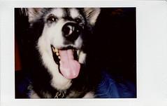 Mia (R. Drozda) Tags: fairbanks alaska northpole ravenveterinaryclinic drjeanneolson husky malemute dog portrait happy therapy notmydog drozda littledoglaughedstories