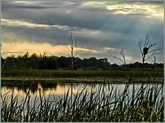 EAGLE'S NEST IN THE SUNSET...WITH EAGLES...SHERBURNE WILDLIFE REFUGE (strandviewphotos) Tags: eagles nest sunset sunrays cattails sherburnewildliferefuge
