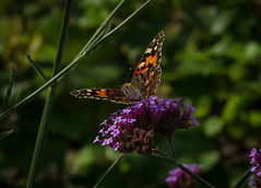 Painted Lady (frankmh) Tags: insect animal butterfly paintedlady sofierocastlegarden helsingborg skne sweden outdoor