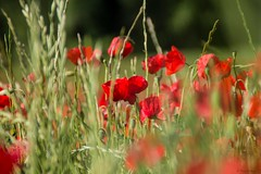 Coquelicots - Poppies (Kaya.paca) Tags: coquelicots poppies field contry campagne colors green red rouge vert couleurs nature landscape paysage soleil sun printemps spring fleurs flowers