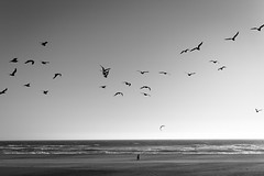 *** (Misha Sokolnikov) Tags: ca california pacificocean ocean beach sea seagull waves noiretblanc blackandwhite leicamonochrom leica leicamsystem seethebiggerpicture 50mm aposummicron leicamm monochrome mono nature seascape landscape