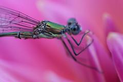 Parc Floral de Vincennes 28.08.12 4402 (MUMU.09) Tags: insectos macro nature insect photo foto dragonfly bild makro libelle insekt liblula  insetto insecte libellule imagem   libellula obraz  owad   hmyz     skordr waka      trollslnda rovar odonate   zdjcie  vka kerengende    feithid  omh mdudu
