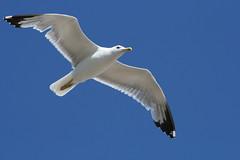 Southend Seagull 2 (Dave-B2012) Tags: england sky seagulls holiday birds seaside essex southend freedomtosoarlevel1birdphotosonly