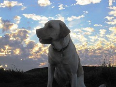 7915367932 b363928191 m Hercules, Photos of my fun Yellow Labrador