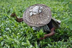 green around (emon chowdhury.) Tags: green canon teagarden sylhet bangladesh srimongal
