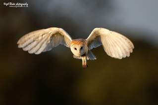 Barn Owl, Tyto alba, in flight hunting