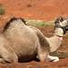 Os camelos trazidos da Ásia