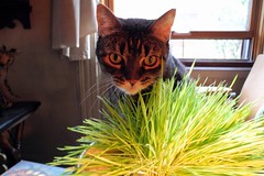 cat grass (omoo) Tags: newyorkcity cats grass cat apartment interior tabby westvillage greenwichvillage wheatgrass catgrass oldgrass dscn5770 countrycatthatnowliveinthecity