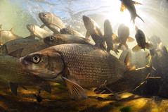 Sunny Afternoon Whitefish (Fish as art) Tags: fish canada close north pescado northern poisson fisk angeln schooloffish fischen unterseeisch paulvecseiphotography undersiske