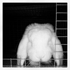 Snow, our blue eyed white (BEW) French lop. #LuckyLadiesRabbitry (Snapshots by Nixy J Morales) Tags: square squareformat inkwell iphoneography instagramapp uploaded:by=instagram foursquare:venue=4de39b3aae60e7f3ac0a6105