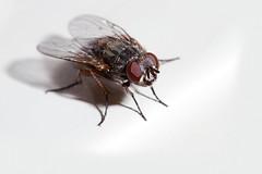 the fly (devdruid) Tags: red orange white black macro hair insect fly wings eyes legs mygearandme mygearandmepremium