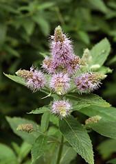 Ro-Minze_DSC_3227 (schaefer_rudolf) Tags: bis lamiaceae mentha rosarot wildpflanze lippenbltler minzen rossminze blte mentha longifolia schnell wachsend weislich