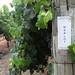 2012 Munselle Merlot Harvest 0005