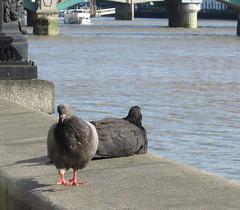 London birds... (mag2003...) Tags: london sunshine thames river pigeons lazy enjoying embankment