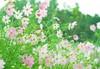 theJewelry cases of the fall (ayumi_yoruko) Tags: autumn flower fall rain japan bokeh 日本 saitama 花 秋 waterdrops cosmos 埼玉 コスモス 雨 hidaka 雫 巾着田 ボケ 日高 高麗 秋雨