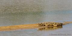 Nile Crocodile (Wild Dogger) Tags: africa travel nature animals canon tiere wildlife urlaub natur safari crocodile afrika zambia reptiles krokodil 2011 reptilien sambia nilecrocodile mfuwe crocodylidae crocodilia crocodylusniloticus nilkrokodil southluangwavalley canoneos7d echtekrokodile thomasretterath
