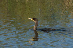 Double-crested Cormorant (violetflm) Tags: bird native basin september il cormorant chicagoriver northbranch doublecrestedcormorant glenview westfork technybasin d300s d3u8149