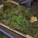 2012 Cal Plans Woods Chardonnay Harvest 0004