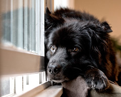 waiting on a friend (sparkleplenty_fotos) Tags: dog reflection simon love window fur nose paw furry waiting watching whiskers blackdog listening doggie snout lovable giantpaw bigblackdog oldmandog thattimeofday whereisthatschoolbusalready timetoplaywithmypals biggiantpaw sortofmessy pwpet