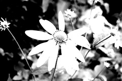 Flowers (sjrankin) Tags: japan hokkaido edited grayscale processed filtered yubari yubarijapan 4october2012