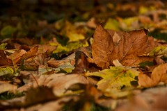 """foglie ... morte ("""" paolo ammannati """") Tags: flowers panorama foglie alberi forest raw top natura ombre io autunno colori viaggi verna bosco casentino foresta chiusidellaverna paoloammannati complimenti effettinaturali mygearandme"""
