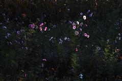 Blumenfeld mit Kosmeen am herbstlichen Dieksee, Lingen, Laxten (61 a) (Chironius) Tags: morning autumn flower fleur germany deutschland dawn see blossom alba herbst flor herfst alemania otoo fiore blte autunno allemagne morgen asteraceae cosmos hst germania ochtend matin gegenlicht  emsland mattina cosmea lingen jesie aube  niedersachsen morgendmmerung schmuckkrbchen morgengrauen cosmosbipinnatus  dieksee asterales dageraad   asteroideae kosmee korbbltler asterids   efterret gauerbach cosmeabipinnata kosmeen coreopsideae laxten gauerbachsee