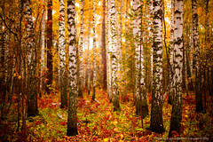 Fall, Novosibirsk, Russia (jev) Tags: leica plants tree fall mushroom russia rangefinder siberia birch noctilux novosibirsk asph осень береза autemn nocti leicam9 noctiluxm50mmf095asph leicaimages