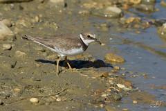 Petit gravelot (Tifaeris) Tags: bird oiseau charadriiformes littleringedplover charadriusdubius petitgravelot charadriids