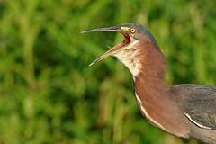 Green Heron call (macmirabile) Tags: huntleymeadows greenheron alexandria nikond600 sigma150600s 600mm