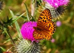 Dark Green Fritillary male (Fr Paul Hackett) Tags: butterfly fritillary sunshine wooodland kingussie withtom