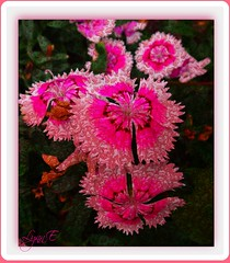 A Touch of Glamour (Lynn English-on/off) Tags: carnation pink ps gardenribbet