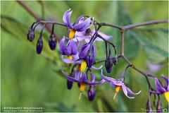 Bittersweet Nightshade (Tom Wildoner) Tags: tomwildoner leisurelyscientistcom leisurelyscientist bittersweet nightshade wildflower purple yellow lehighgorgestatepark lehighriver water nature outdoors hiking walking environment pa pennsylvania science outdoor