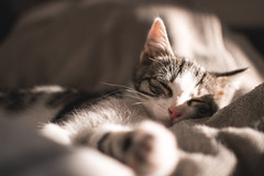 Baby Cat At Dreamland (thethomsn) Tags: baby cat dreamland kitten portrait animal pet cute small dreaming asleep naturallight relax fur detail dof depthoffield kater katze thethomsn sigma 30mm