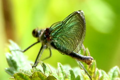 Delicate wings. (pstone646) Tags: insect damoiselle nature wildlife beauty kent animal closeup bokeh green plant