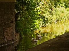 1295-21L (Lozarithm) Tags: aylesbury bucks canals guc swans pentaxzoom k1 28105 hdpdfa28105mmf3556eddcwr justpentax