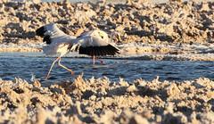 Puna/James's Flamingos (Med Gull) Tags: zegrahm chile peru cruise expedition wildlife southamerica atacama sanpedrodeatacama lakechaxa lake salt saltpan flamingo puna punaflamingo jamessflamingo