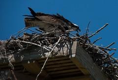 DSC_6094 (Copy) (pandjt) Tags: ny newyorkstate ogdensburg osprey bird fisheagle seahawk fishhawk raptor