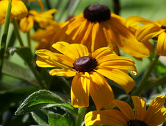 black-eyed susan (foxtail_1) Tags: elkislandnationalpark alberta blackeyedsusan rudbeckiahirta