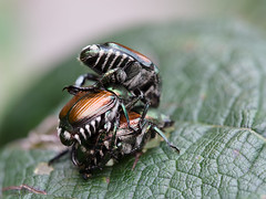 Scarabe  Trois (Jason Crouse) Tags: 2014 animal animals beetles camera em1 home insect insects japanesebeetle mzuiko60f28macro olympus subject wv westvirginia wildlife arthropod