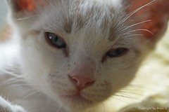 Schlafzimmerblick .. ;))) * Bedroom eyes .. ;))) * Ojos del dormitorio .. ;))) * (Makro/Macro)  . _DSC4609-001 (maya.walti HK) Tags: 2016 250816 animales animals cachorros cats copyrightbymayawaltihk flickr gatos katzen katzenbabys kittens mgimuck makro nikond3200 tiere