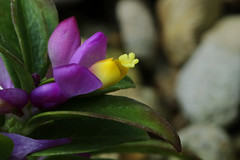 Polygala chamaebuxus   (ashitaka-f studio k2) Tags: flower purple yellow polygala chamaebuxus     polygalaceae