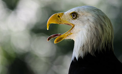 Weikopfseeadler (Sakerfalke) Tags: sakerfalkefotografie weiskopfseeadler baldeagle bokeh