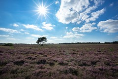 20160816-1713-03 (Don Oppedijk) Tags: hilversum zuiderheide heather heide cffaa