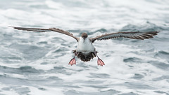 Air Brakes (PeterBrannon) Tags: bird canada flight germanbanks greatshearwater nature novascotia puffinusgravis seabird wildlife airbrakes aileron