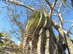 baja-0465 (Robby's Sukkulentenseite) Tags: bajasur cacti cactus ferocactus fnrrb1049 ka1147s kakteen kaktus losencinitos mexiko peninsulae rb1049 reise standort topxpflanze townsendianus
